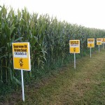 File:GMO corn Yellow Springs, Ohio.jpg From Wikimedia Commons, the free media repository